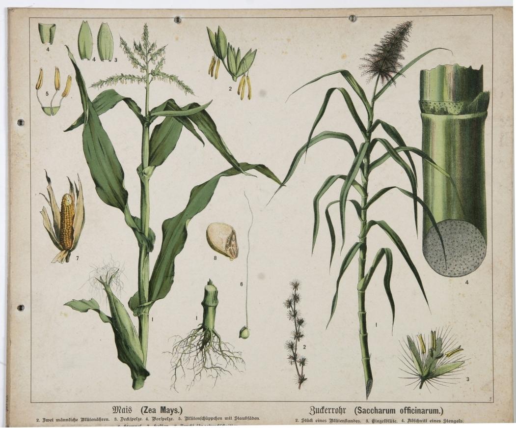 Mais: Zuckerrohr